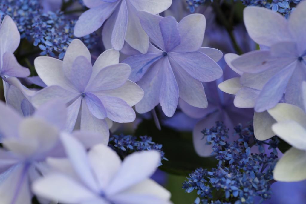 紫陽花色♪5
