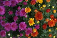 菊の季節♪5