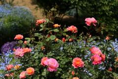 薔薇香る頃♪13