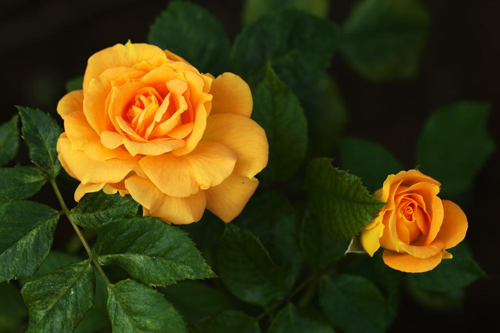 秋の薔薇♪6