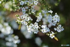 白い春♪3