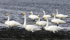 多々良沼の白鳥さん♪5
