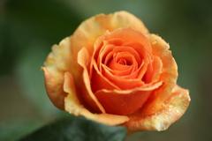 ほほえみの薔薇♪1