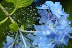 雨の日の紫陽花♪3