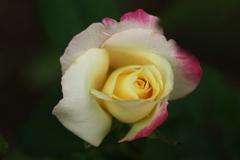 秋の薔薇♪20