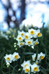 水仙の春♪4