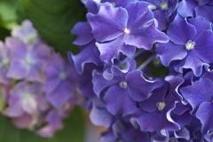 紫陽花の夢♪4