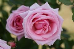 微笑みの薔薇♪2