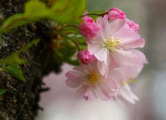 思川桜♪5