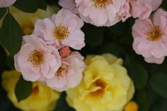 微笑みの薔薇♪4