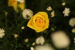 黄色い薔薇♪2