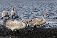 多々良沼の白鳥さん♪1