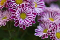 菊の季節♪2