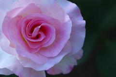 井頭公園の薔薇♪13