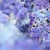 ほほえみの紫陽花♪5