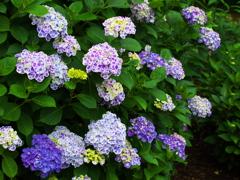 紫陽花♪1