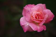 秋の薔薇♪16