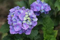太平山の紫陽花♪6