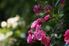 井頭公園の薔薇♪16