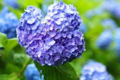 雨の日の紫陽花♪2