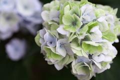 紫陽花の夢♪5