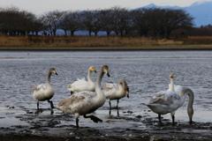 多々良沼の白鳥さん♪3