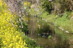 川岸のしだれ桜♪2