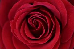 1月の薔薇♪4