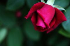 井頭公園の薔薇♪15