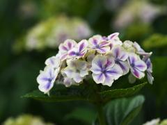 紫陽花♪4