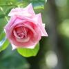 井頭公園の薔薇♪6