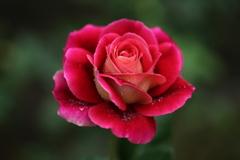 ほほえみの薔薇♪5