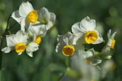 水仙の春♪5