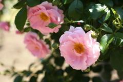 井頭公園の薔薇♪2