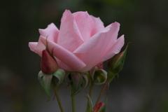 薔薇・咲き残る♪5