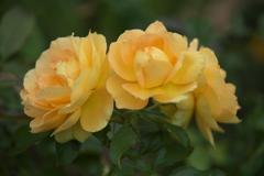 初秋の薔薇♪3