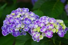 紫陽花♪3