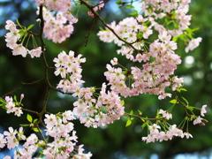 思川桜♪3