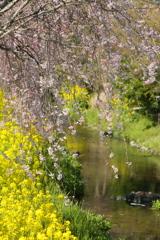 川岸のしだれ桜♪3