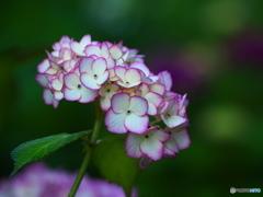 権現堂堤の紫陽花♪10