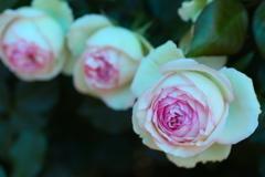 井頭公園の薔薇♪10