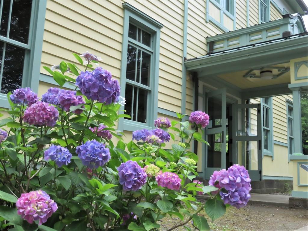 乙女な紫陽花