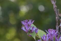 秋の花ホトトギス