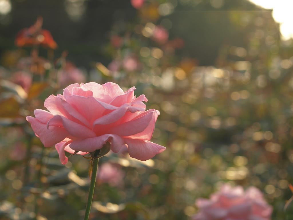 夕暮れ時の薔薇