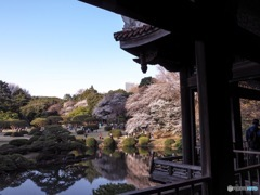 新宿御苑 台湾閣からの桜