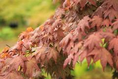 永保寺 季節はずれの紅葉