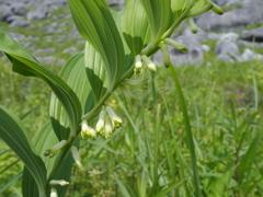 平尾台の花 『アマドコロ』