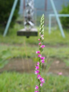 小さくても蘭の気品