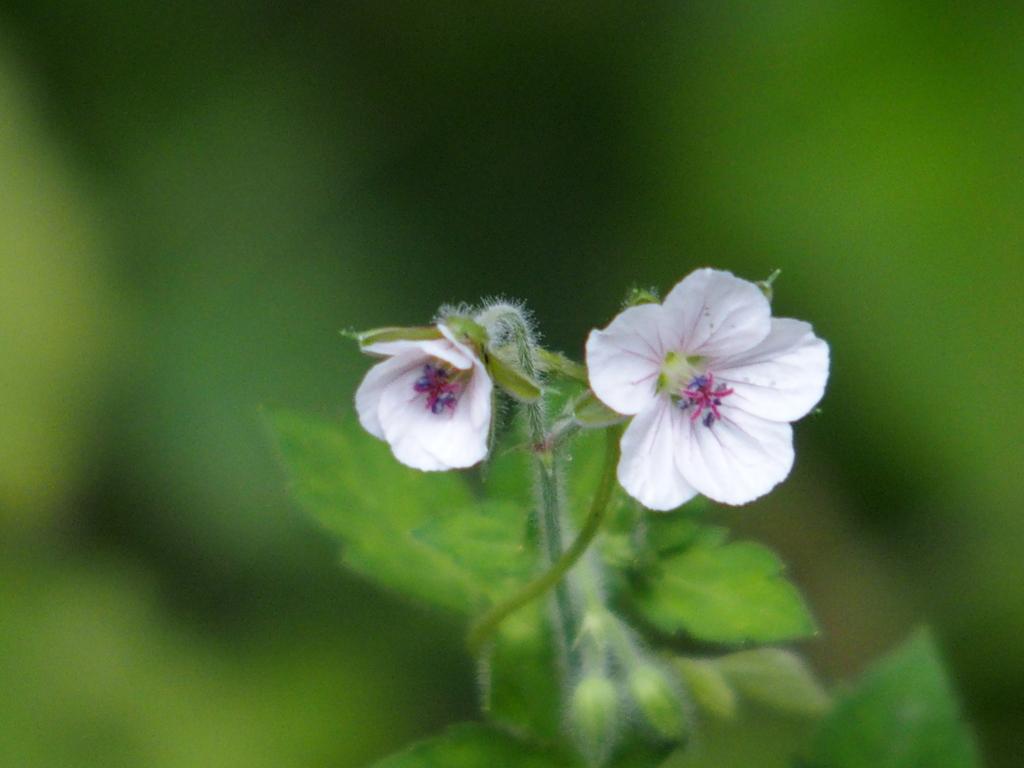 ゲンノショウコ(白花)