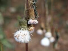 綿毛の季節 4